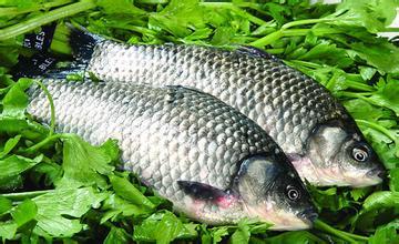 鯽魚(鮮活)