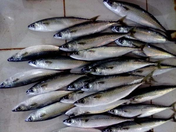 生鮮燈光魚