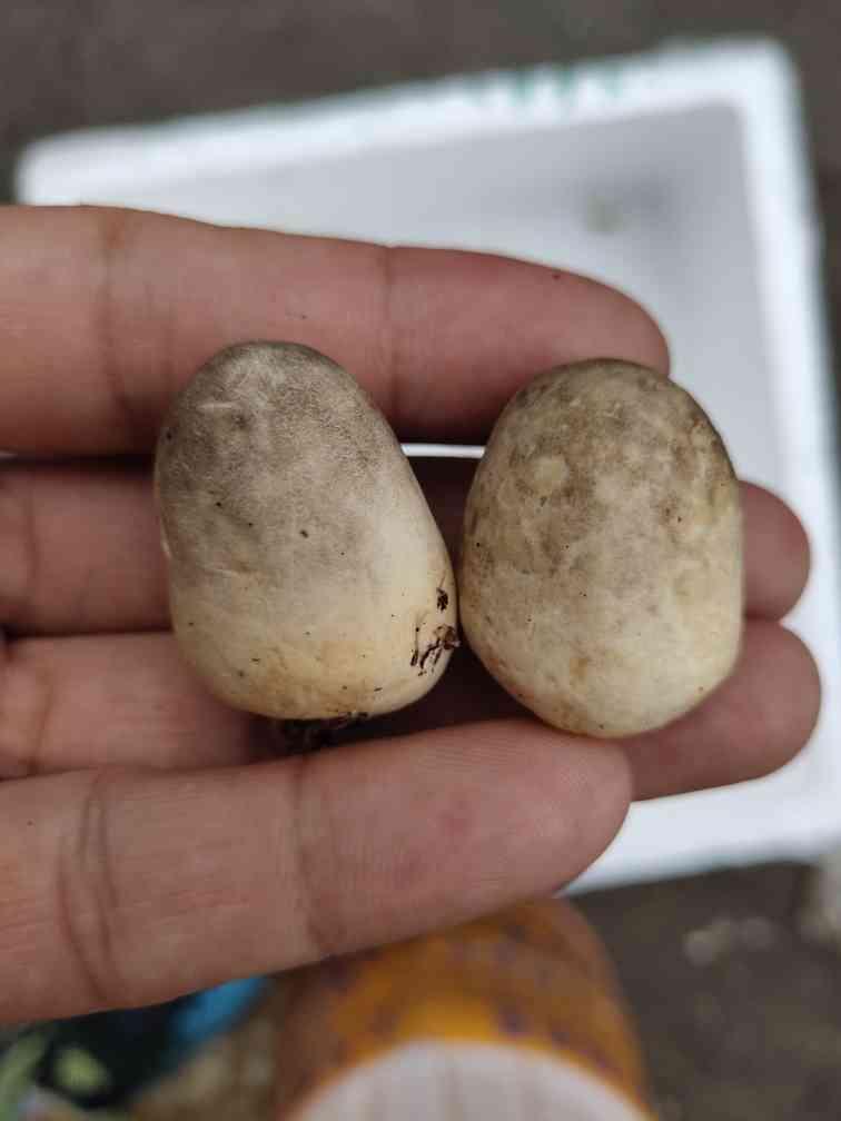 草菇新鲜草菇